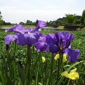 ☆天草・本渡:花しょうぶ・散歩道より