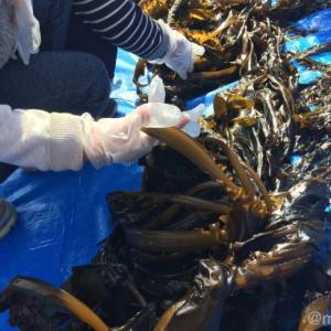 早採りワカメの季節がきた!神戸須磨浦海岸で収穫・株付オーナー体験したよ。