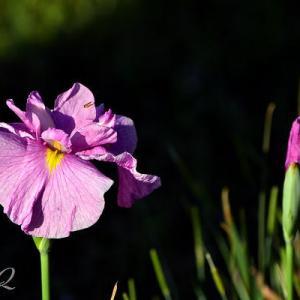 この花たちの季節が来ました