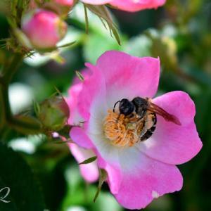 バラの花のその一