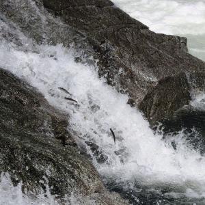 今日の鮎滝&ピンコ_2020-09-14