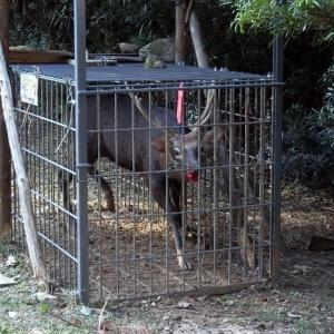 牛馬屋の箱罠に四段角の大鹿