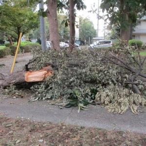 常盤平団地の54年 強風で倒された樹