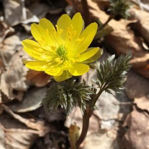 春への一歩♪福寿草咲く