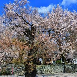 妙了寺さんの桜