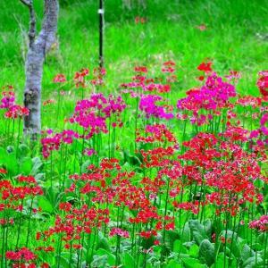入笠湿原の草花 2020梅雨