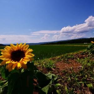 水田と向日葵