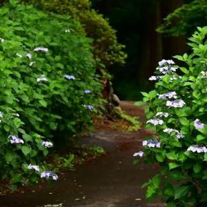 日輪寺の紫陽花