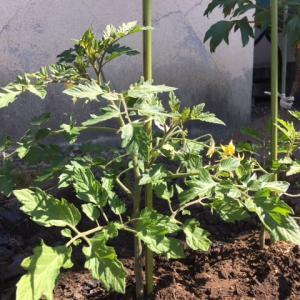 今朝のミニトマトと小菊と新人さん
