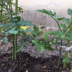 今朝のミニトマトの青い実
