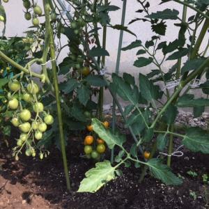 今朝のミニトマト