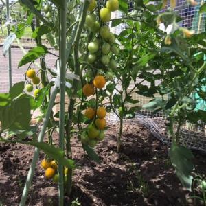 今朝の色づくミニトマト