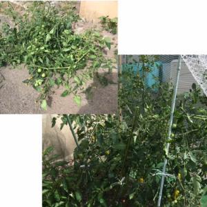 ミニトマトの絡まった枝を払った