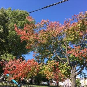 近所の公園でも紅葉して来ている