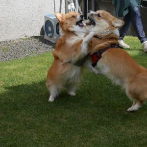 犬同士の『ご挨拶』は慎重にね〜