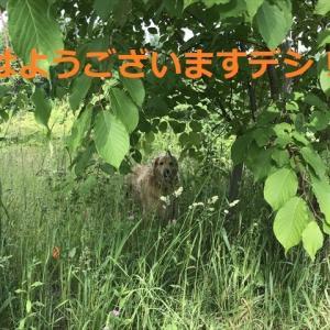 朝んぽからお構いなしの「パピゴル姫」デシネ(=∀=)