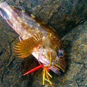 釣ってよし 食ってよし  根魚攻略 (主にカラーについてですが汗