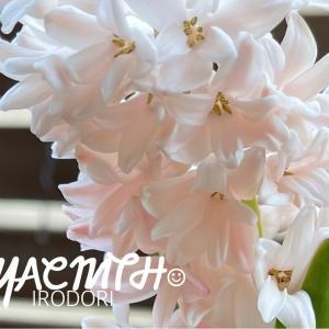 *花のある暮らし*桜色のヒヤシンスが咲きました*