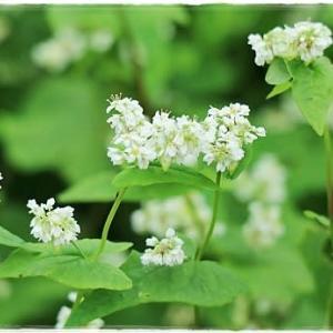 ソバの花とおばけかぼちゃ🎃