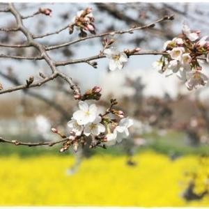 今年の春は・・・