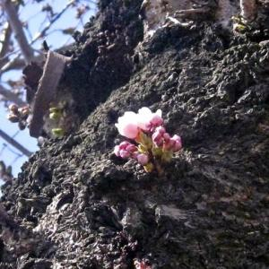 芽吹き始めた胴吹き桜