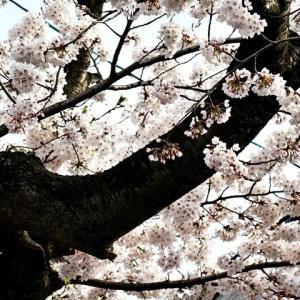 桜川通りのソメイヨシノが満開 !!