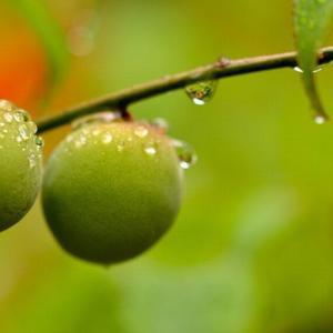 #3175 夏晴れのさ庭の木かげ梅の實の・・・他俳句