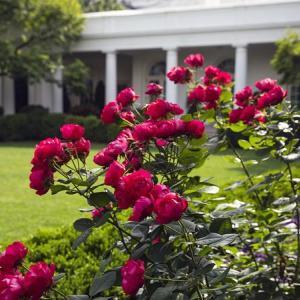 #3194 剪花の紅ばら挿せば美しかる・・・他俳句