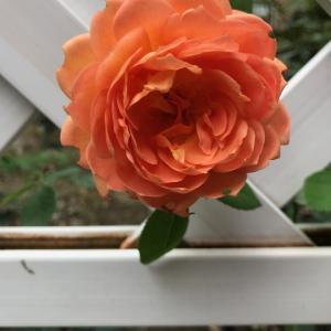 秋のバラ 〜 レディー・オブ・シャーロット 〜