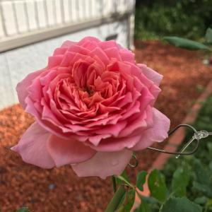 秋のバラ 〜ジュビリー・セレブレーション〜