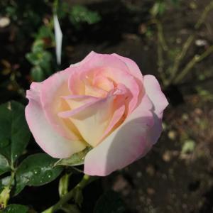 秋のバラ 〜プリンセス・ドゥ・モナコ〜 と リーバイス