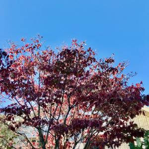 ハナミズキ 紅葉から落葉