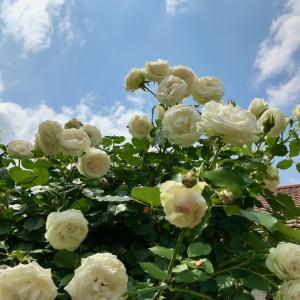 バラ 〜人気ないバラ〜