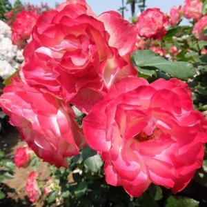 ザ・ブルーハーツの「情熱の薔薇」とロスジェネ