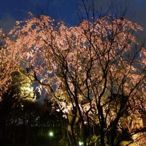 夜景(夜桜。投稿トレンド)