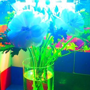 青山フラワーマーケット北千住店で購入した花の動画