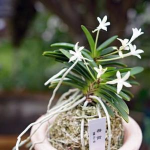 風蘭の花6