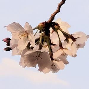 コロナで桜シック 【♪Spring Express さくらいろ♪】