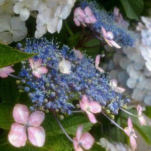 【♪紫陽花パラダイス♪】#紫陽花倶楽部2020紫陽花まつり『梅雨空に似合う紫陽花』