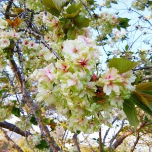 ご予約状況‼️御衣黄桜