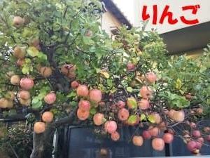 この辺りでは珍しい鈴なりのリンゴ