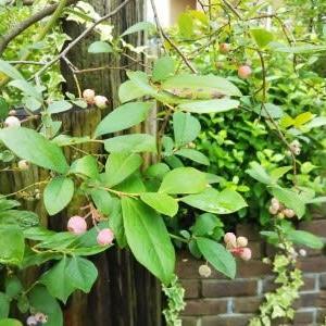 桃の木の大敵「カミキリムシ」