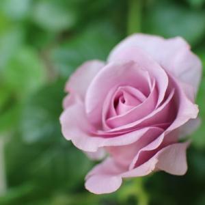 ベランダのバラが咲き始めて♪