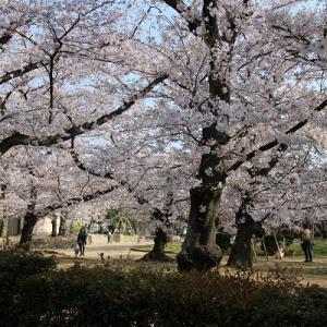 桜 満開♪