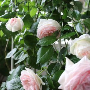 ベランダのバラが満開に♪