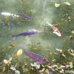 日本のモネの池に行って来ました!