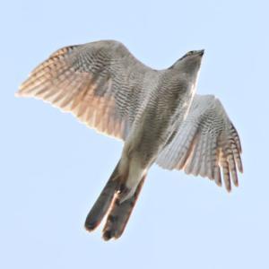 オオタカの成鳥が飛び去って
