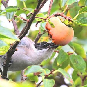 オナガが柿の実にかぶりついて