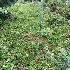 ブルーベリーの所を草刈り