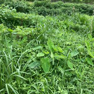 こんにゃくと里芋のところの草刈り